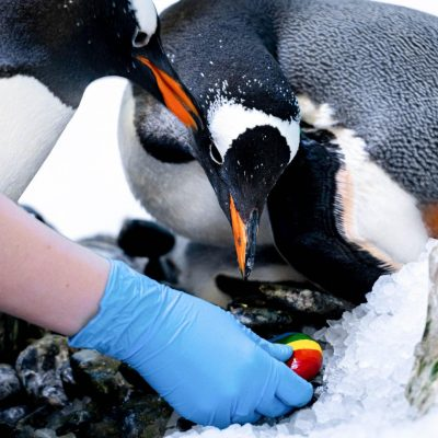 A pair of female penguins from the aquarium became parents